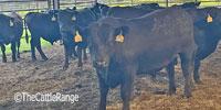 20 Reg. Angus Bulls... Southwest AR