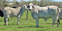 15 Brahman Cows w/ 5+ Calves... S. Central TX