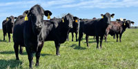 38 Brangus Cross Cows... Southwest MO