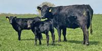 20 Angus & BWF Cows... Southwest MO