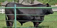 1 Reg. Brangus Bull... N. Central TX