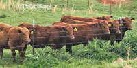 19 Red Angus Bred Heifers... N. Central AR