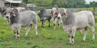 3 Brahman Bulls... East TX