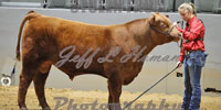 1 Reg. Red Angus Bull... S. Central MS