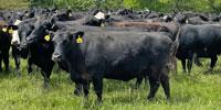 40 Angus & BWF Cows... Southwest MO