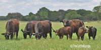 7 Angus 1st-Calf Pairs... Central TX