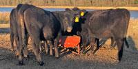 11 Reg. Angus Rep. Heifers... East TX