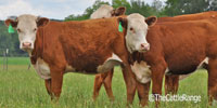18 Hereford Rep. Heifers... Central TX