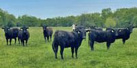 10 Angus & BWF Bred Heifers... Southwest MO