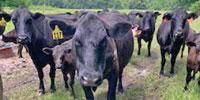 16 Angus & BWF Cows w/ 14+ Calves... Northeast TX