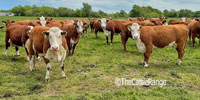 28 Polled Hereford Cows... Southwest MO