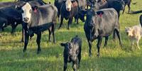 40 Angus Cows w/ 6+ Calves... North TX