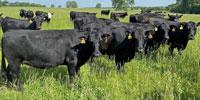 82 Angus & BWF Cows... Southwest MO
