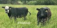 43 Angus & Black Baldy Cows... Southwest MO