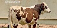 1 British White/Brahman Cross Rep. Heifer... Central TX