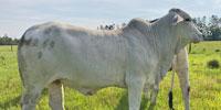 3 Reg. Brahman Rep. Heifers... Southwest LA