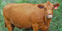 25 Red Angus Cows... North TX
