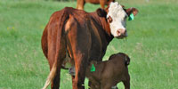 5 Red Angus Cross 1st-Calf Pairs... Central TX