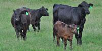 9 Brangus 1st-Calf Pairs... Central TX