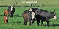 "11 Angus Cross ""BWF"" 1st-Calf Pairs... Central TX"