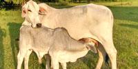 3 Brahman Cows w/ 1+ Calves... FL Panhandle