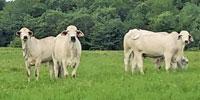 49 Brahman Bred Heifers... Northeast TX