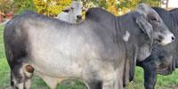1 Reg. Brahman Bull... East TX
