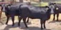 38 Angus Bred Heifers... E. Central GA