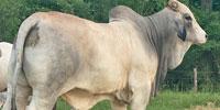 2 Reg. Brahman Bulls... Central TX