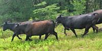 37 Brangus 1st-Calf Heifers w/18+ Calves ... Central TX