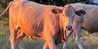 25 Crossbred Bred Heifers... Southeast OK
