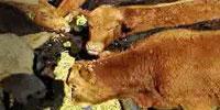 100 Charolais/Red Angus Stocker Calves... W. Central MO
