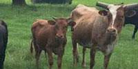 60 Longhorn Cross Cows w/ 30+ Calves... S. Central AL
