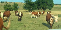 40 Hereford Bred Heifers... Central OK