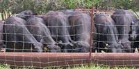 10 Reg. Angus Bulls... N. Central MO