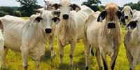30 Brahman Cows w/ 1+ Calf... Central TX