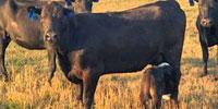 54 Angus 2nd-Calf Cows w/ 15+ Calves... Central MO