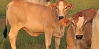 4 Reg. Simbrah Rep. Heifers... Southeast LA