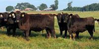 90 Angus & Angus Cross Bred Heifers... Northeast GA