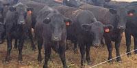 94 SimAngus Bred Heifers... Southeast MT