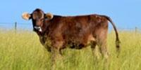 15 Braunvieh Bred Heifers... TX Panhandle