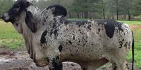 1 Reg. Brahman Bull... S. Central MS