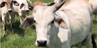 22 Brahman Rep. Heifers... North TX