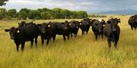 50 Angus & BWF Bred Heifers... Southwest NM