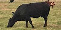 35 Brangus & Crossbred Cows w/ 3+ Calves... Central TX