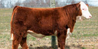 1 Reg. Hereford Bull... FL Panhandle
