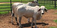 7 Reg. Brahman Rep. Heifers... North TX
