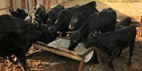 6 Angus 1st-Calf Pairs... Central TX