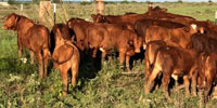 30 Beefmaster Rep. Heifers... Central TX