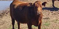 17 Angus & Red Angus 2nd-Calf Cows w/ 12+ Calves... N. Central OK